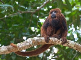 Brown Howler Monkey in Ipenema
