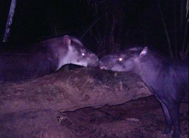 new tapir picture